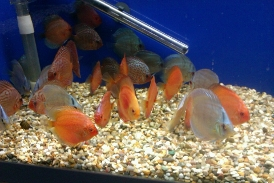 Leicester aquatics tropical marine coldwater and pond fish for Live discus fish for sale